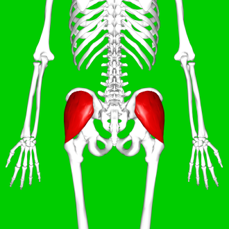 Gluteus medius - Position of gluteus medius muscle (shown in red). Posterior view.