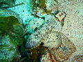 Glyptauchen panduratus Goblinfish P1021058.JPG