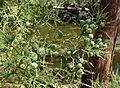 Glyptostrobus pensilis - UC Davis Arboretum - DSC03383.JPG