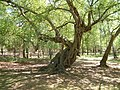 Gnarled treetrunk, Thorndon Country Park, Brentwood - geograph.org.uk - 420846.jpg