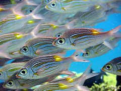 Goldspot seabream (Gnathodentex aureolineatus)