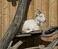 Goat zoo Schönbrunn.jpg