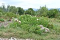 Goats eating dwarf elderberry in Botevgrad, Bulgaria 01.jpg