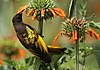 Golden-winged Sunbird feeding on Leonotis nepetifolia, Kenya