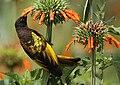 Golden-winged Sunbird (Drepanorhynchus reichenowi) -Kenya.jpg