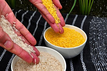 Golden Rice grain compared to white r...