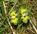 Golden Saxifrage (Chrysosplenium oppositifolium) - Flickr - S. Rae.jpg