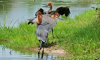 Goliath heron - Juveniles in the Kruger National Park
