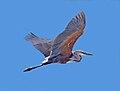 Goliath Heron RWD4.jpg