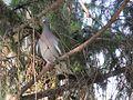 Golub grivnaš u parku, Srbija 11.jpg