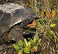 Gopher Tortoise at Smyrna Dunes Park - Flickr - Andrea Westmoreland (3).jpg