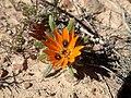 Gorteria diffusa flowerhead