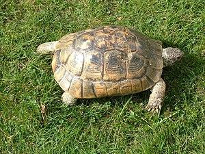 Spur-thighed tortoise - Testudo graeca ibera