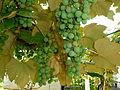 Grapes, Fryšták.jpg