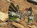 Graphium antiphates - Five-bar Swordtail 06.jpg