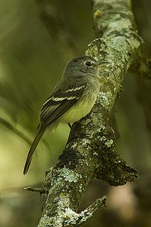 Grey-breasted flycatcher species of bird
