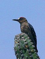 Gray-breasted Woodpecker crop.jpg