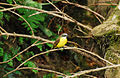 Gray-capped Flycatcher.jpg