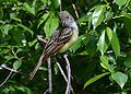 Great Crested Flycatcher (14086483684).jpg