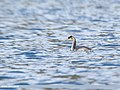 Great Crested Grebe (Podiceps cristatus) (45911539822).jpg
