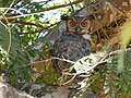 Great Horned Owl (Bubo virginianus) (28119936012).jpg