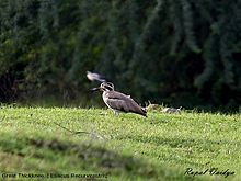 Great Thickknee (Esacus Recurvirostris).jpg