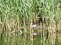 Great crested grebe, nesting (14194062367).jpg