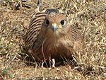 Greater Kestrel, juvenile, Serengeti.jpg