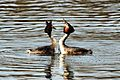 Grebe Courtship - Harrold Country Park (13032179294).jpg