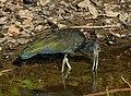 Green Ibis (Mesembrinibis cayennensis) (30934711273).jpg