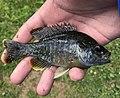 Greengill sunfish, Lepomis macrochirus x cyanellus.jpg