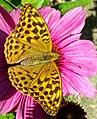 Grenchen - Argynnis paphia on Asterales flowers v2.jpg