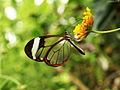 Greta Oto (Glasswing) Butterfly (5469322851).jpg