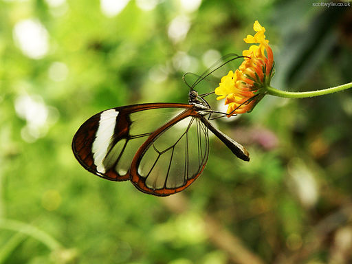 Greta Oto (Glasswing) Butterfly (5469322851)