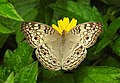 Grey Pansy Junonia atlites by Dr. Raju Kasambe DSCN0114 (4).jpg
