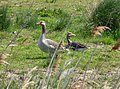 Greylag Geese. - Flickr - gailhampshire.jpg