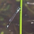 Große Pechlibelle Ischnura elegans 6423.jpg