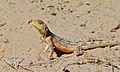 Ground Agama (Agama aculeata) (6536937287).jpg