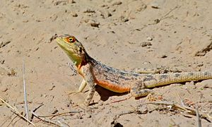 Agama (lizard) - Ground agama (Agama aculeata), South Africa