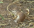 Ground squirrel mesquite.jpg