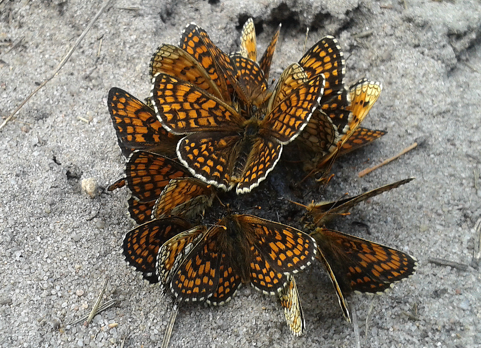 Group of Melitaea athalia near Warka, Poland