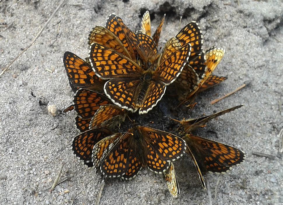 Group of Melitaea athalia near Warka, Poland