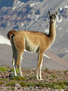 Image result for pictures of guanaco