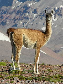 Guanaco species of mammal