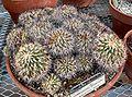 Gymnocactus horripilus 1.jpg