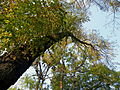 Gymnocladus dioicus (4).JPG