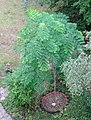 Gymnocladus dioicus Berlin Bernauer TP02.jpg