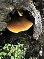 Gymnopilus sapineus 60739292.jpg
