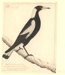 Gymnorhina tibicen, early drawing.jpeg