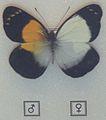 Gynandromorphisme018.jpg